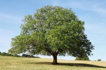walnussbaum pflanzen wissenswertes und krankheiten. Black Bedroom Furniture Sets. Home Design Ideas