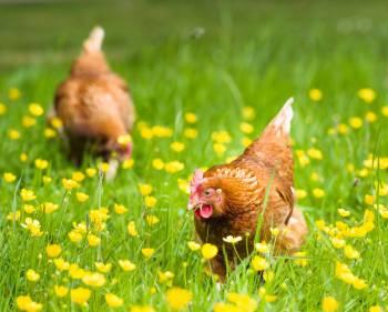 Hühner Halten Im Garten 10 Dinge Auf Die Man Achten Sollte