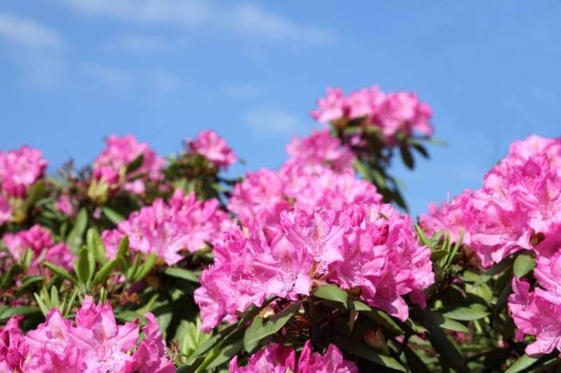 Rhododendron Schädlinge Und Krankheiten Zuhausenet