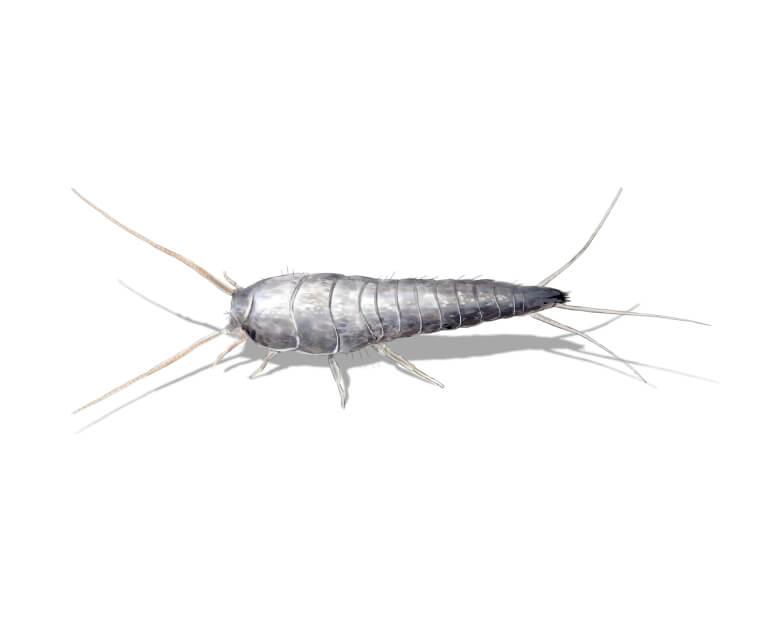 silberfische im schlafzimmer richtig bek mpfen und beseitigen. Black Bedroom Furniture Sets. Home Design Ideas